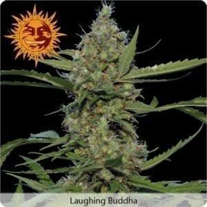 laughing-buddha-plant