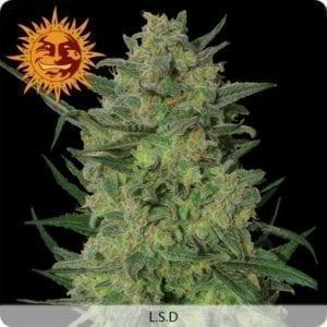 lsd-plant